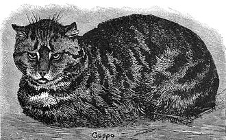 Tabby cat - A 19th century drawing of a tabby cat