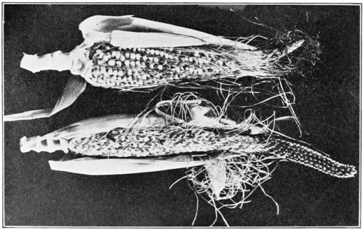 PSM V79 D350 Ears of maize bearing perfect flowers.png
