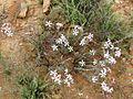 Pachypodium succulentum00.jpg