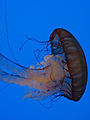 Pacific Sea Nettle 2 - National Aquarium, Baltimore - April 5, 2011.jpg