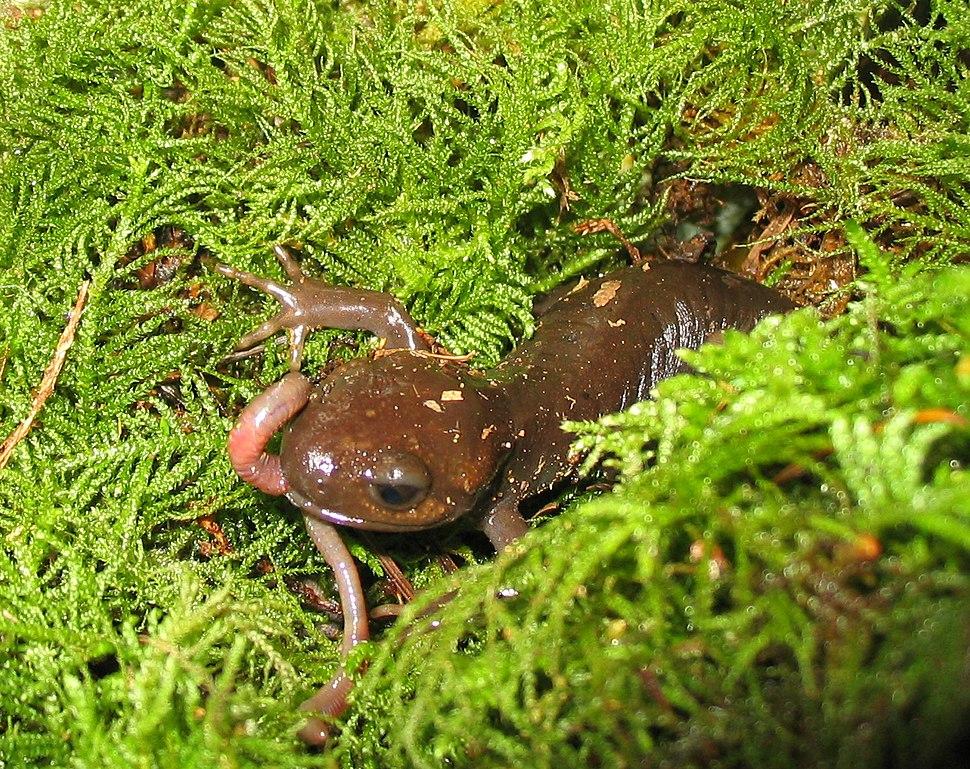 Pacific brown salamander eating a worm