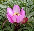 Paeonia clusii-Λασίθι.jpg
