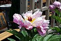 Paeonia lactiflora Pink Delight 0zz.jpg