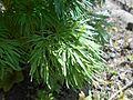 Paeonia tenuifolia 2017-04-20 8138.jpg