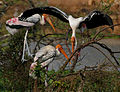 Painted Stork (Mycteria leucocephala) in Garapadu, AP W IMG 5176.jpg