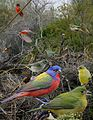 Painted bunting from The Crossley ID Guide Eastern Birds.jpg