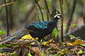 Palawan Peacock-Pheasant - Palawan - Philippines H8O0751 (15361453469).jpg