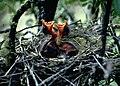 Palila Nestlings (28321603290).jpg