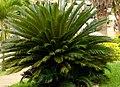 Palma cyca (Cycas revoluta) (2) (14385298366).jpg