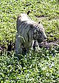 Pana'ewa Rainforest Zoo--Namaste the White Tiger 13 (4472394964).jpg