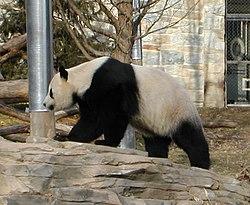 Hua Mei, bayi panda yang lahir di Kebun Binatang San Diego pada  tahun 1999.