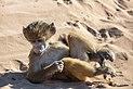 Papión chacma (Papio ursinus), parque nacional de Chobe, Botsuana, 2018-07-28, DD 103.jpg