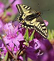 Papilio machaon on Rhododendron dilatatum s3.JPG