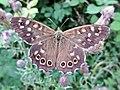 Pararge aegeria (Nymphalidae) (Speckled Wood) - (imago), Arnhem, the Netherlands.jpg