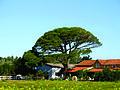 Parasolden (Pinus pinea), Frankrijk 2008.jpg