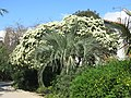 Parc Olbius Riquier - Tree with white flowers.jpg