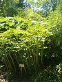 Paris polyphylla BotGardBln07122011A.JPG