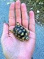 Parnitha, turtle.jpg