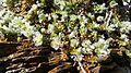Paronychia Kapela RNN Nohèdes.jpg