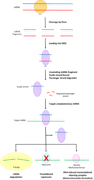 RNA-induced silencing complex - Part of the RNA interference pathway with the different ways RISC can silence genes via their messenger RNA.