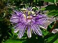 Passiflora incarnata 003.JPG
