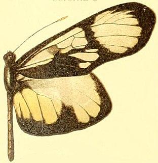 <i>Patia orise</i> species of insect