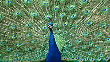 Peacock at Warwick Castle wide.jpg