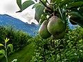Pears Near Riddes.jpg