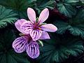 Pelargonium australe (5674671327).jpg