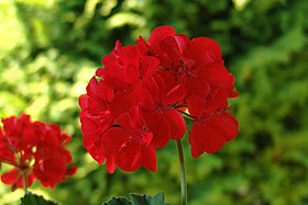 Pelargonium flower.jpg