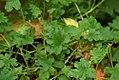 Pelargonium graveolens 0zz.jpg