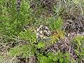 Pelargonium lobatum plant.JPG