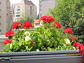 Pelargonium valugi 3.jpg