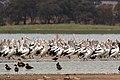 Pelicans (24156585533).jpg