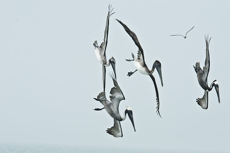 File:Pelicans diving.JPG
