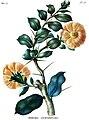 Pereskia lychnidiflora.jpg