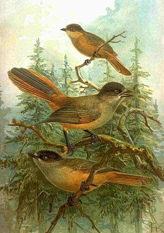 Siberian jay - Image: Perisoreus infaustus 1