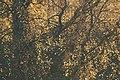 PermaLiv Høstbjørk med høstfarger i Totenvika 29-10-20 2.jpg