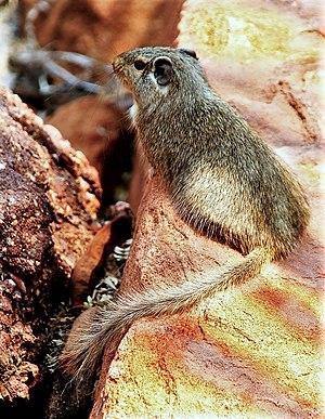 Dassie rat - Image: Petromus typicus