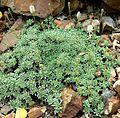 Petrophyton caespitosum 1.jpg