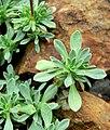 Petrophyton caespitosum 3.jpg