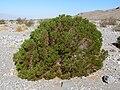 Peucephyllum schottii 1.jpg