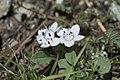 Phacelia dalesiana (Howellanthus).jpg
