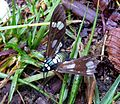 Phaeo acquiguttata. Arctiidae - Flickr - gailhampshire.jpg