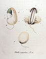 Phallus impudicus — Flora Batava — Volume v10.jpg