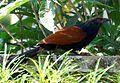 Pheasant crow.jpg