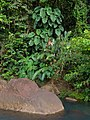 Philodendron (plantes).jpg