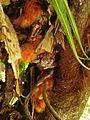 Phlebodium aureum ( Ptéridophyte ).jpg