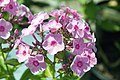 Phlox paniculata Junior Bouquet 0zz.jpg