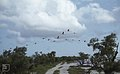 Phoenicopterus ruber over Long Cay camp (37983884915).jpg